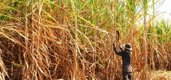 Cana é alternativa para o setor de biocombustíveis