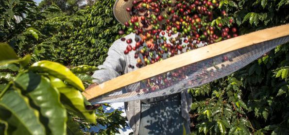 Conab prevê redução de 20,5% na produção de café