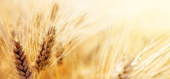 Colheita do trigo no Paraná atinge 28% da área