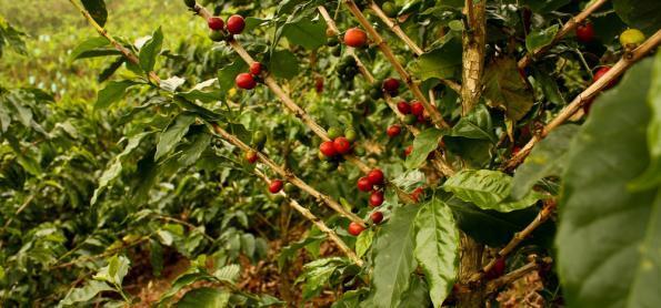 Exportação de café solúvel bate recorde