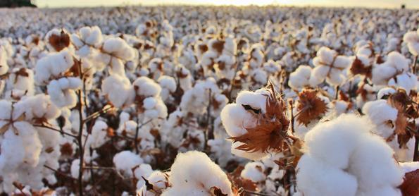 Qualidade da fibra do algodão é destaque na Bahia