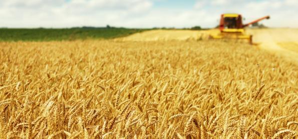Safra 2019 de trigo está em estágio avançado de colheita