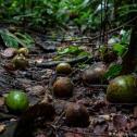 Ações humanas alteram dispersão de sementes na Amazônia