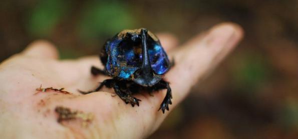 Pesquisa aponta redução drástica de besouros na Amazônia