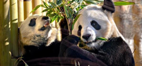 Covid-19 obriga zoo no Canadá a devolver pandas para China