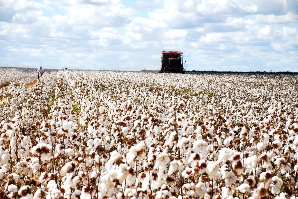 colheita área de algodão bahia_abapa.