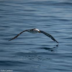 Mais de 100 albatrozes são avistados no litoral de São Paulo