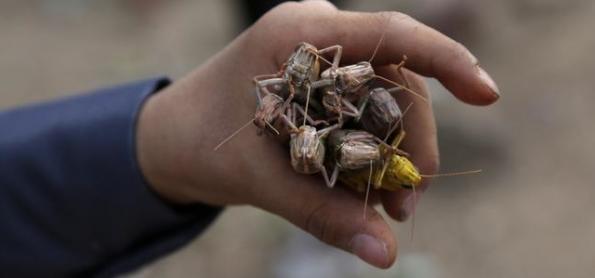 Nova praga de gafanhotos ameaça Leste da África