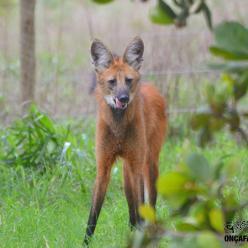 Nova cédula R$ 200 eleva a atenção para a preservação do lobo-guará
