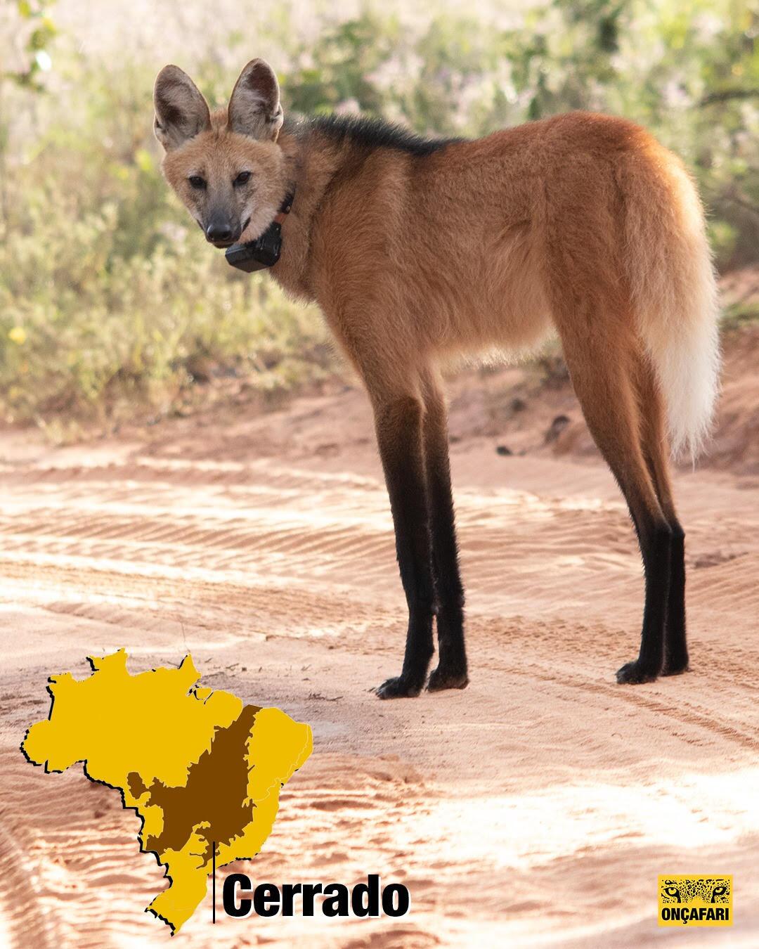 loboguará