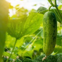 Cultivo de pepino em ambiente protegido