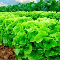 Produção local de legumes e verduras pode alimentar 20 milhões