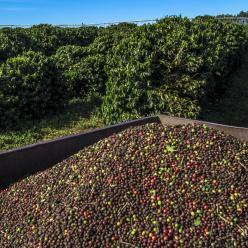 Safra de café é averiguada na região litorânea e planalto da BA