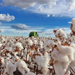 Combate ao bicudo manteve produtividade do algodão na Bahia