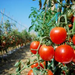 Tomate apresenta maior redução de preços para os consumidores