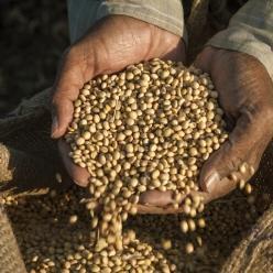 Colheita da soja avança no Rio Grande do Sul