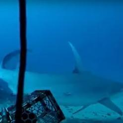Rara espécie de tubarão-martelo é filmada no litoral da Paraíba