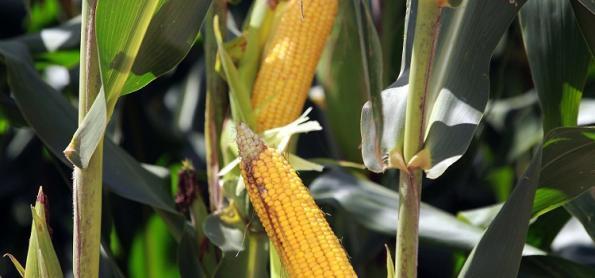 A importância do milho para o manejo de plantas daninhas