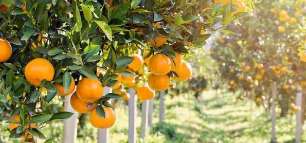 Metodologia inédita em sanidade vegetal protege a citricultura