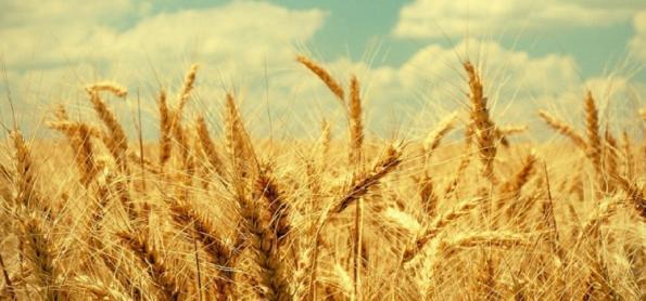 Chuva colabora para o desenvolvimento do trigo e aveia no RS