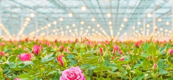 Ceaflor comemora alta no consumo das flores de corte