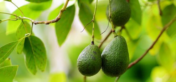 Produção de abacate suporta variações de clima