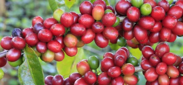 Produção de café paulista pode passar de 4 milhões/sacas