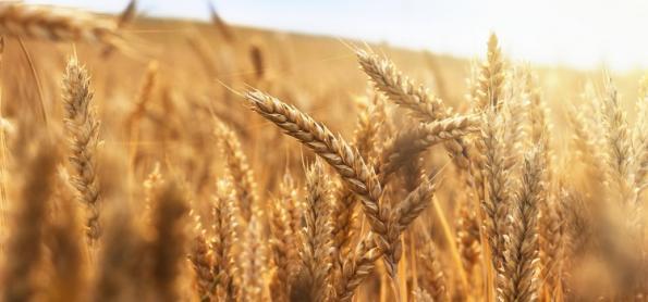 Projeções indicam redução da safra de trigo no BR