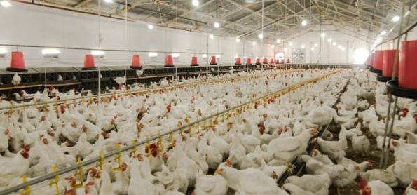Exportadores de aves, suínos e ovos projetam negócios