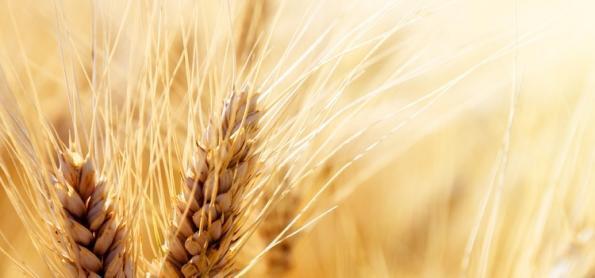 Produtores de trigo iniciam colheita no RS