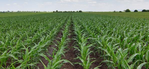 Clima favorece plantio do milho no RS